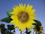 SunFlower by Lozovoto-zaice