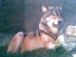 Torak- my adopted wolf :D by Dogtorwho