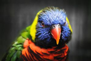 Lorikeet by SarahVlad