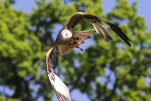 Red Kite by Parides