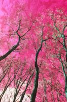 Pink Trees by ANDYBURGESS