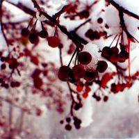 Winter Berries. by xXcherushiiXx