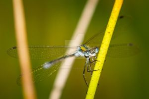 Damselfly by CryogenicCactus