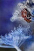 Graphosoma lineatum by kacper00001