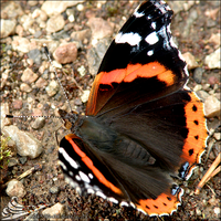 Red Admiral by LightConcorde