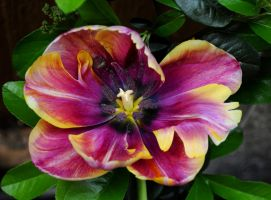 The Tulip That Thinks Its A Clematis by Forestina-Fotos
