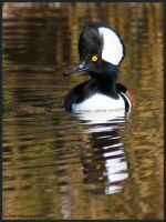 Hooded Merganser Male by EWilloughby