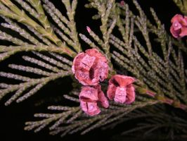 Ring-Flash test Conifer 2 by TERABBS