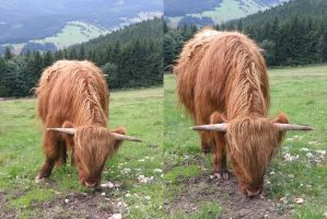 Highland cattle by MAKY-OREL