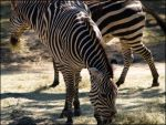 Zebra by dotstock
