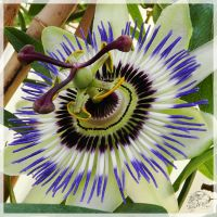 Passion Flower by hawkeye280