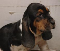 Basset Hound puppy by MightySquirrel