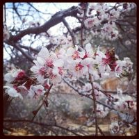 Sedona's Cherry Blossoms by DiamondSpider