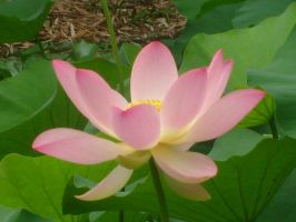 pink waterlily Flora 1 by ingeline-art