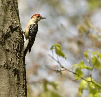 red bellied woodpecker by kl61