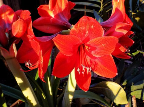 Lilies in late afternoon by Kynalex