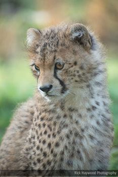 Young Cheetah Male 182 14f by Haywood-Photography