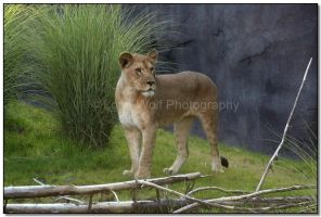 Pride of the Pride by LoneWolfPhotography