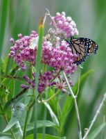 Monarch Butterfly by PamplemousseCeil