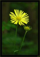 Doronicum - 3 by J-Y-M