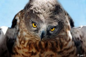 SHORT-TOED EAGLE by Yair-Leibovich
