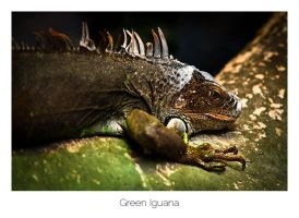 Green Iguana by AlexMarshall