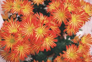 chrysanthemum by Spliffnwesson