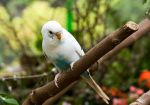 White Budgie by Katiemarie