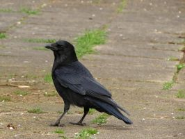 Carrion-crow1 by mrscats