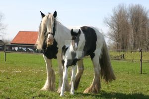 Roisin and foal Pikey by tinkerlady