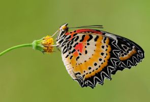 Leopard Lacewing 160111 by inckurei