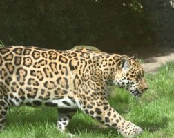 jaguar in Zoo 5 by ingeline-art