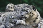 Snow Leopard IX by Parides