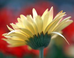 Pale Yellow Daisy by andras120