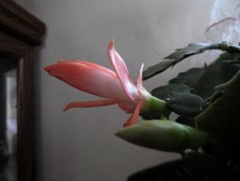 She just about too open . my PEACH catus by Nipntuck3