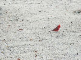 Cardinal in Mississippi.. by iluvobiwan91
