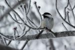 Black-capped Chickadee by ryancrouse