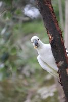 cockatoo by jajwhth