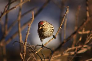 Common Redpoll III by Sagittor