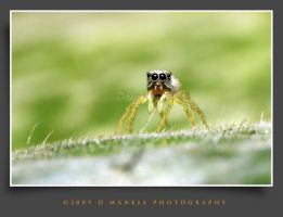 jumping spider 18 by dhead