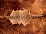 Mongoose Pelt by NaturePunk