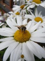 Bee and Flower Stock 2 by Melyssah6-Stock