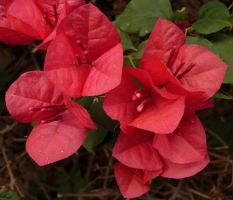 576 - bougainvillea by WolfC-Stock