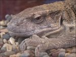 Savannah Monitor by TalkStock