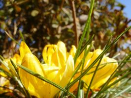 Yellow Flowers (no edit) by livdrummer