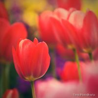 Tulip III by WindyLife