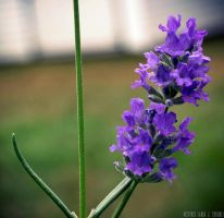 Young Lavender Bloomed by WickedOwl514