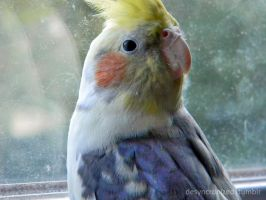 Bernie the Cockatiel 2 by MOGGGET