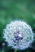 Dandelion 2 by Sato-photography