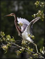 Tricolored Heron 40D0027778 by Cristian-M